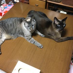 シャム猫兄弟《机の上。》