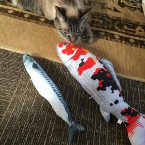 【猫動画】シャム猫さんたち《鯖さんと錦鯉さん。》
