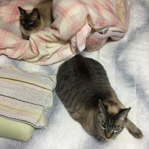 シャム猫さんたち《二度寝。》