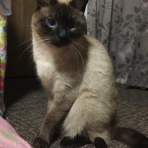 シャム猫風味なレンくん《キッチン下収納。》