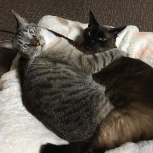 シャム猫さんたち《仲良し兄弟。》