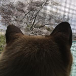 シャム猫さんたち《自粛花見。》