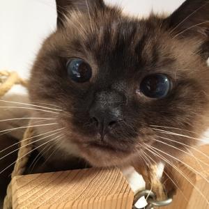 【猫動画】シャム猫風味なレンくん《吊り橋にスリスリぬりぬり。》
