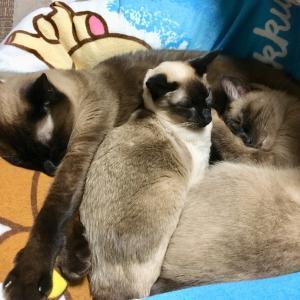 【猫動画】シャム猫さんたち《仲良くて可愛くて。》