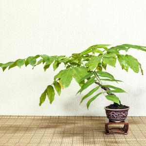 藤の植え替え
