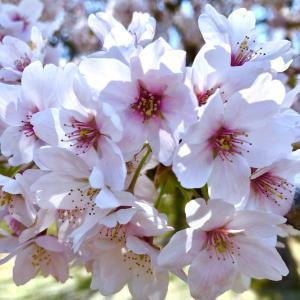 桜の花びらの散るところ