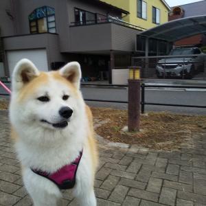 リクとホタルに秋田犬のお友達が出来ました