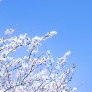 桜お写んぽ  ②