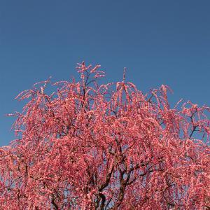 最高のしだれ梅を見るためのサイクリング。