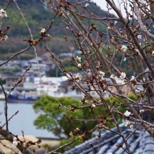 冬の桜・2019
