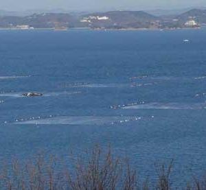 島の各地で海苔の収穫作業が見られます。