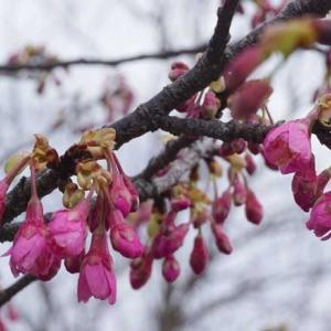 咲き始めた舘山寺桜と寒桜