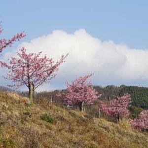 タケサン農園の河津桜とミモザが見頃です。