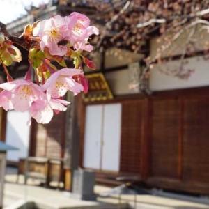 修善寺寒桜など開花・2月23日の桜だより