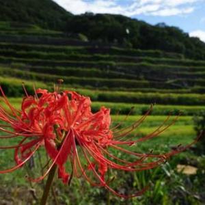 咲き始めたヒガンバナと棚田の花など