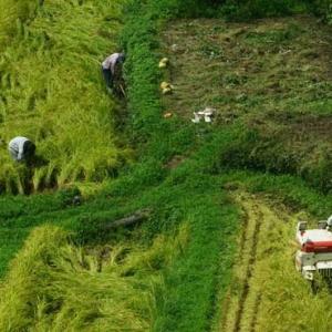 島の各地で稲刈りが始まりました。