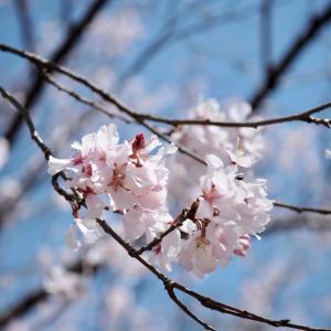 桜の錦玉(きんぎょく)~桜の水まんじゅう~