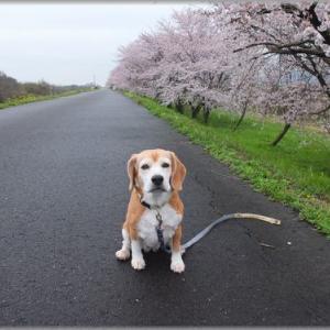 桜は満開・・・・