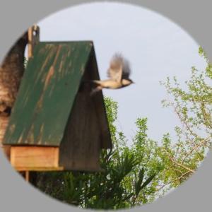 シジュウカラが巣作りしました