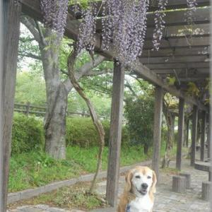 藤の花が咲いていました