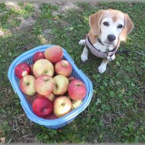 りんご狩りに行って来ました