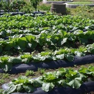 心配してた台風の被害も無く、菜園は順調です