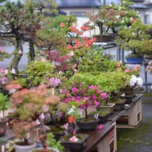 雨上がりの盆栽は、キラキラ清々しいですね