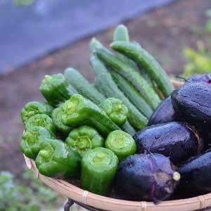 色んな野菜が採れ出して来ましたよ