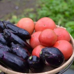 雨の中でも、菜園では収穫をしないと・・・