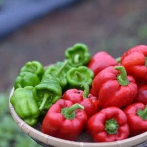 菜園では収穫が続いてますよ