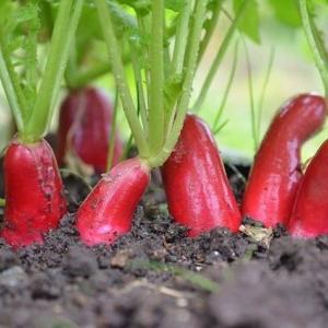 秋野菜が順調に育ってますよ・・・
