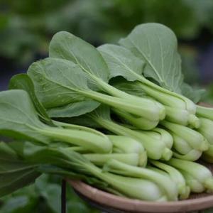 菜園の青梗菜、好きな野菜ですね