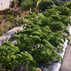 秋野菜の菜園状況・・・
