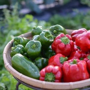 まだまだ続く、野菜の収穫