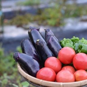 菜園で野菜の収穫です