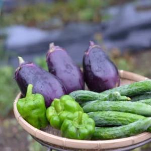 菜園では野菜の収穫です