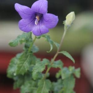 ウズギキョウの花