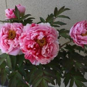 我が家の庭で春に咲いた花達 その①