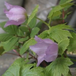 我が家の庭で春に咲いた花達 その2
