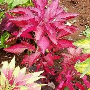 我が家の庭や鉢で咲いた花と斑入り植物達・・・