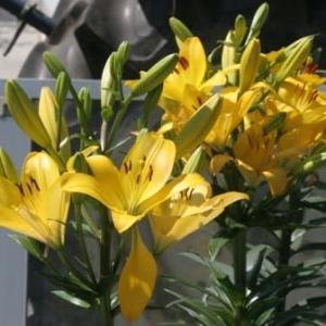 ユリとヘメロカリスの黄色い花・・
