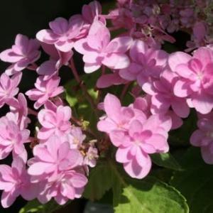 アジサイの花達・・