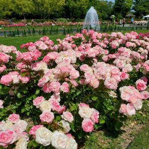 ニコル 須磨離宮公園 バラの花