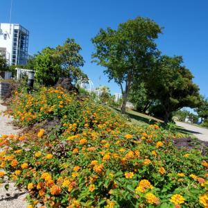 ランタナ  季節の花