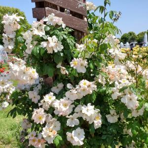サリーホームズ バラの花 須磨離宮公園