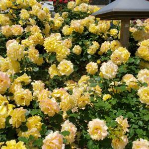 ゴールドバニー バラの花 須磨離宮公園