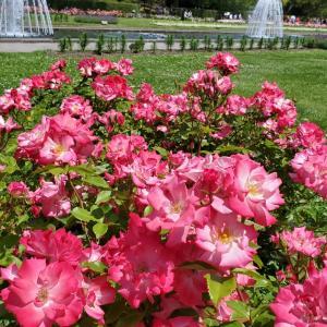 ラビアンローズ バラの花 須磨離宮公園