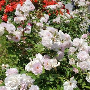 ニューウェーブ バラの花 須磨離宮公園