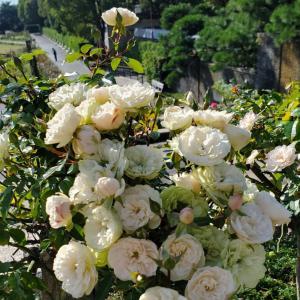グリーンアイス 薔薇の花 須磨離宮公園