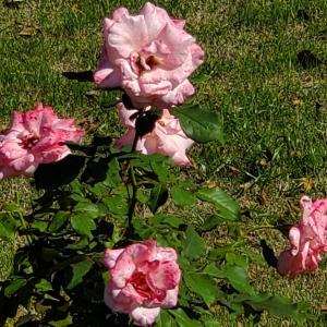 今後のペタ活用方法♡ブライダルピンク♡モーリス ユトリロ 薔薇の花